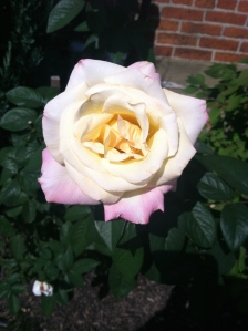 perfect rose from my church's rose garden.